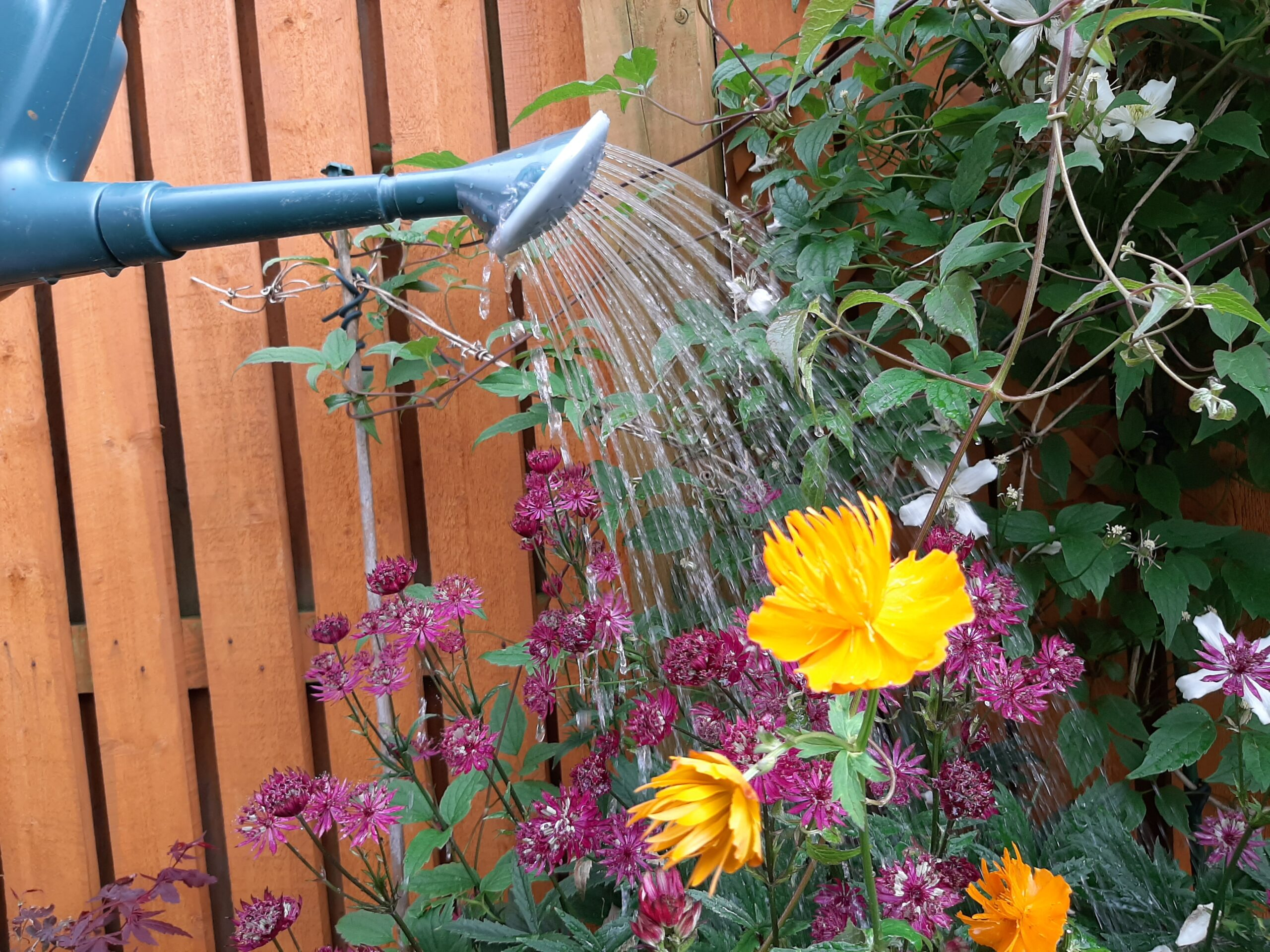 watering can with water coming from spout onto flowers